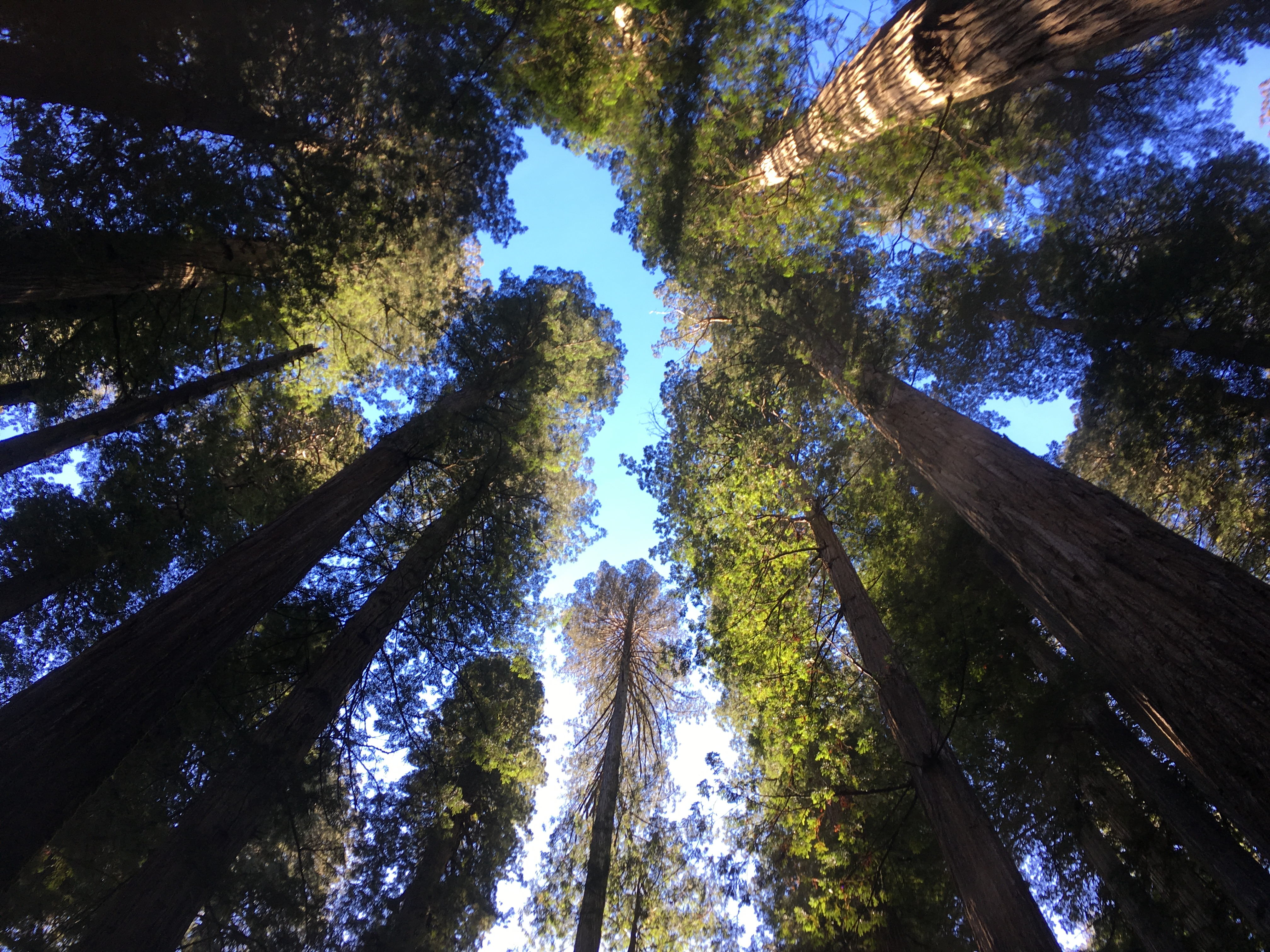Above view from ground in redwood forest