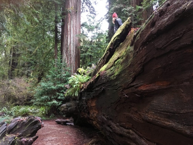 redwood tree in forest